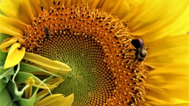 sunflowers-origin-and-impact