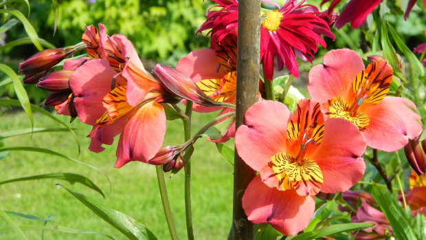 how-to-divide-alstroemeria-peruvian-lily-safely-and-easily