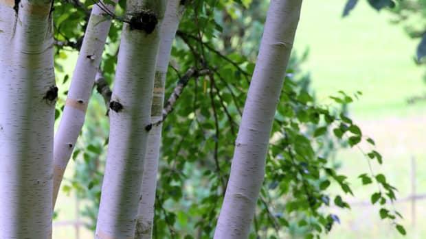 6-garden-trees-with-ornamental-bark-for-winter-interest