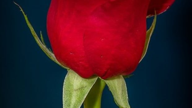 rose-flower-poem