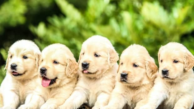 top-5-dog-breeds-for-families