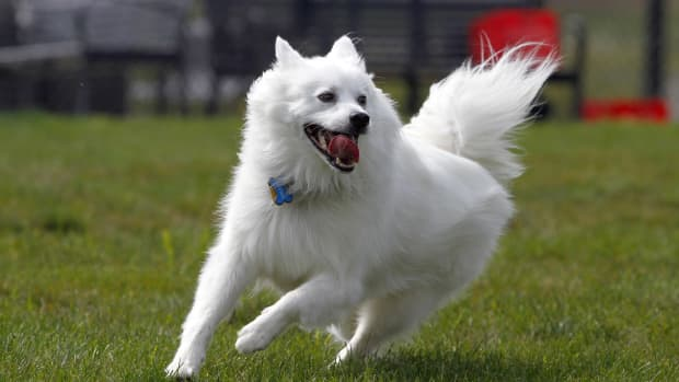 american-eskimo-dog-things-to-know-before-adopting-one