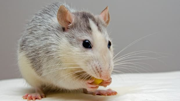 why-are-rats-awesome-pets