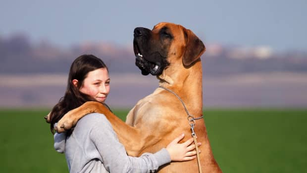 great-danes-what-you-need-to-know-about-them
