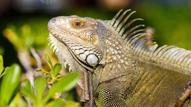 pet-lizards-that-dont-need-bugs