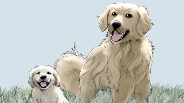 -golden-retriever-growth-sequence-in-the-1st-year