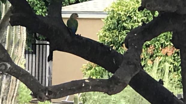 parrots-in-arizona