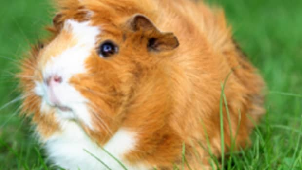 fun-facts-about-guinea-pigs