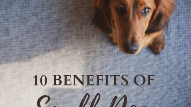 ten-benefits-of-having-a-small-dog