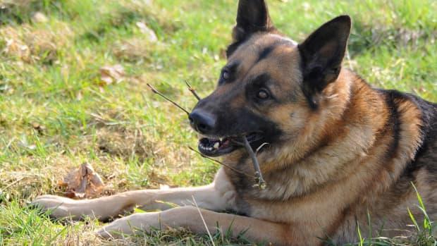 raw-food-diet-for-german-shepherd-dogs