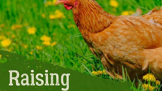 tips-for-raising-backyard-hens
