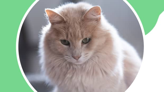 signs-and-causes-of-heart-disease-in-cats
