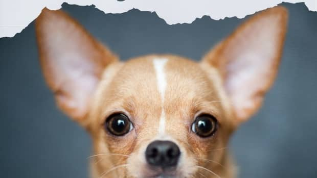 doggie-matchmaker-is-the-chihuahua-right-for-you