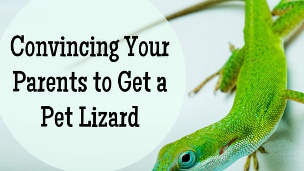 how-to-convince-your-parents-to-let-you-have-a-pet-lizard