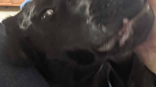 petting-your-labrador-retriever