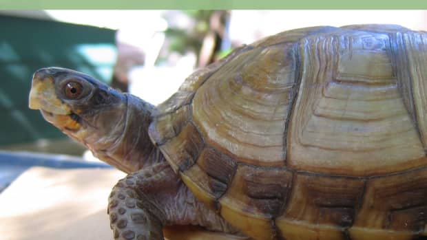box-turtle-care-proper-housing-and-care-of-pet-box-turtles