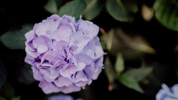 how-and-when-to-prune-hydrangeas