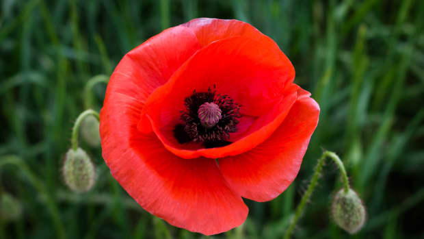 how-to-sow-and-grow-poppies-from-seed