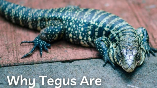 why-tegus-are-the-best-pet-lizards