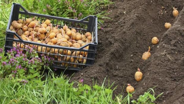 vegetables-that-you-can-grow-in-your-garden-without-buying-their-seeds-from-the-market