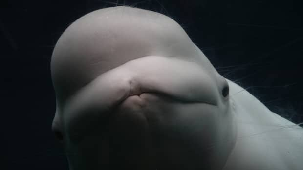 operation-beluga-the-heroic-whale-rescue-operation-by-russians