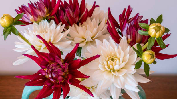 a-guide-to-starting-dahlias-in-pots