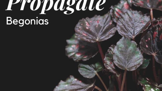 3-ways-to-propagate-begonias