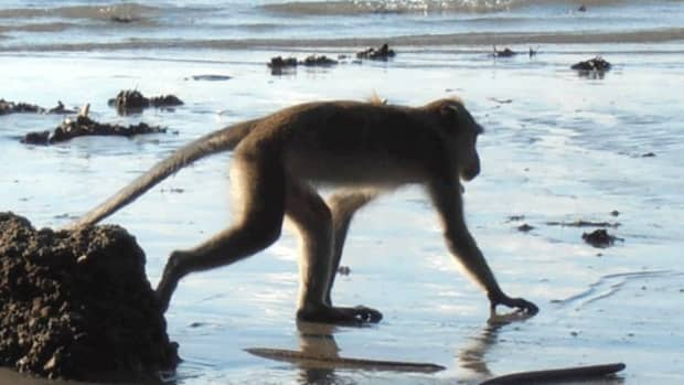 thailand-monkey