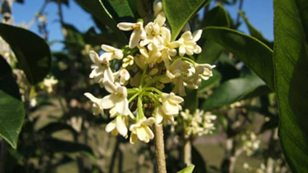 the-sweet-fragrance-of-the-tea-olive