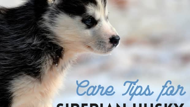 how-to-take-care-of-and-train-a-new-siberian-husky-puppy