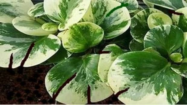 why-leaves-peperomia-splitting