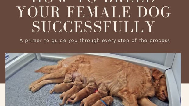 how-to-breed-your-female-dog