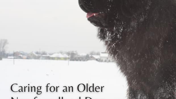 caring-for-your-older-newfoundland-dog