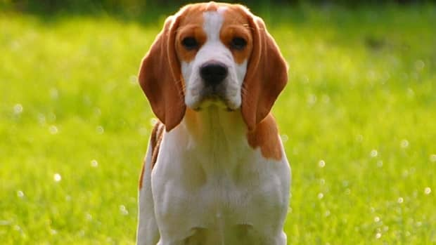 beagle-facts-all-about-beagles-and-the-beagle-nose