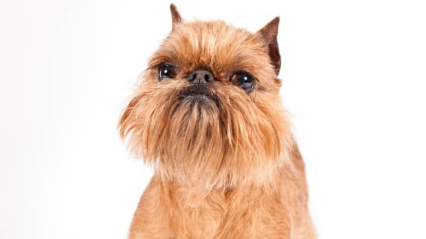 star-wars-ewok-character-developed-from-brussel-griffon-breed