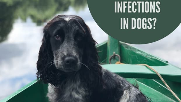 dog-ear-infections-are-food-allergies-causing-your-dogs-ear-infections