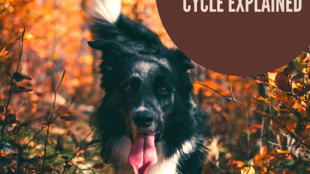 -the-dogs-heat-cycle-explained