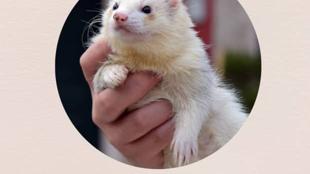 are-ferrets-banned-in-your-country