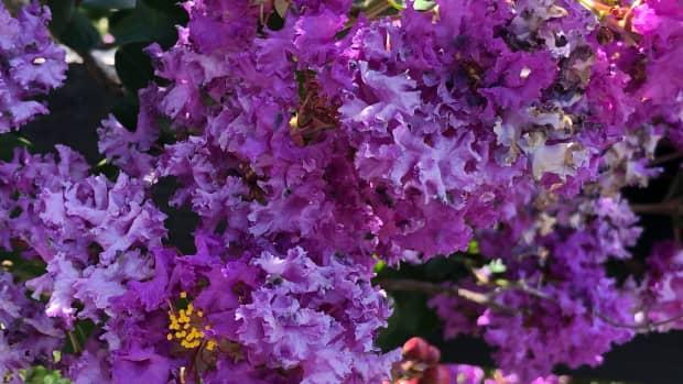 second-bloom-on-crepe-myrtles