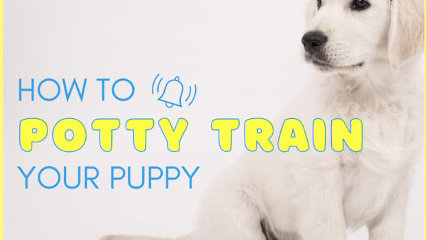 how-to-train-a-beagle-or-any-breed-to-potty-poop-outside
