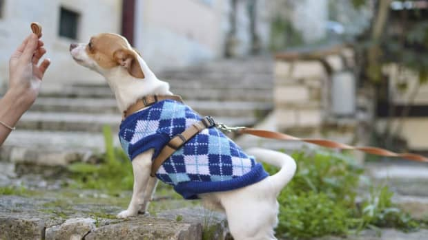 how-to-train-your-small-dogs-with-treats-without-spoiling-his-appetite