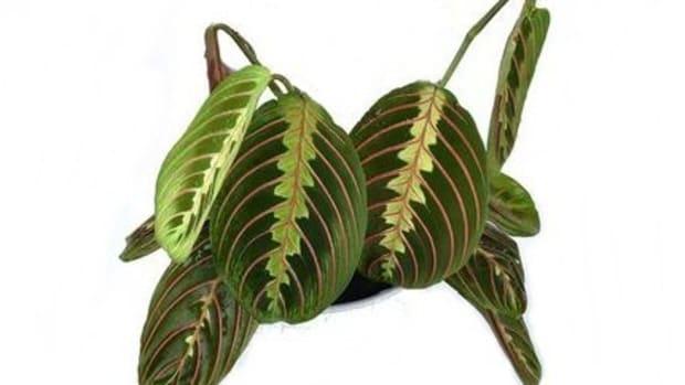 maranta-prayer-plant-drooping-causes-fix