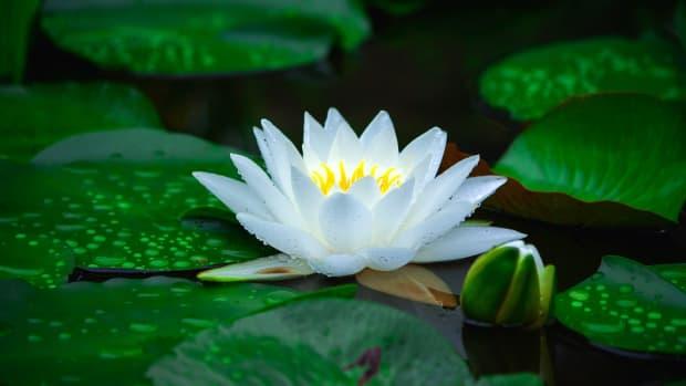 hydrophytes-the-outdoor-garden-water-pond-plants