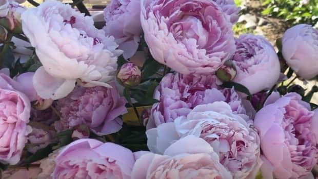 Kelly Lehman's Peonies at Cranbury Fields Flower Farm