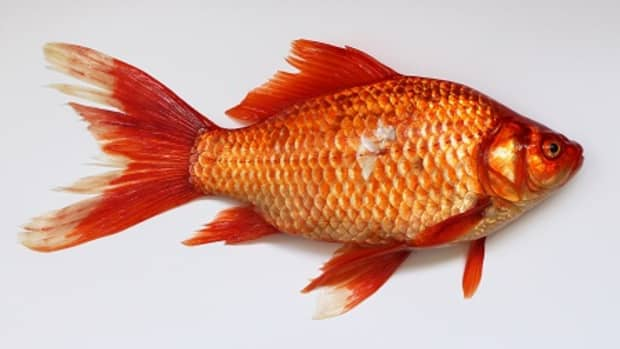 why-betta-fish-losing-scales