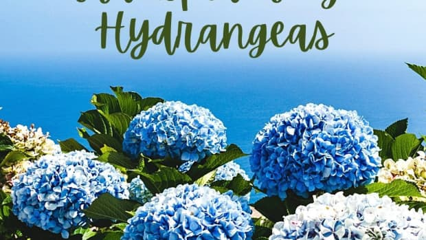 when-and-how-to-transplant-hydrangeas