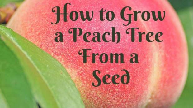 grow-a-peach-tree-from-seed