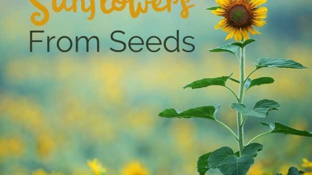 grow-sunflowers