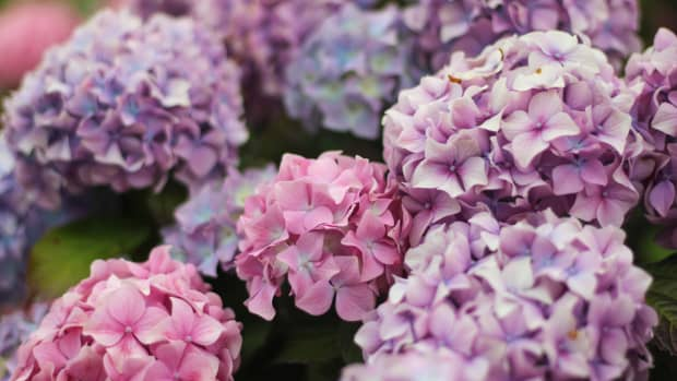 why-arent-my-hydrangeas-blooming-7-reasons