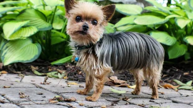 morkie-a-lovely-toy-and-socializing-animal